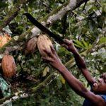 A Páscoa e os impactos socioambientais por trás da produção de cacau